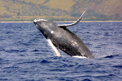 jpg Federal Rule Proposed to Protect Pacific Humpback Whale Critical Habitat